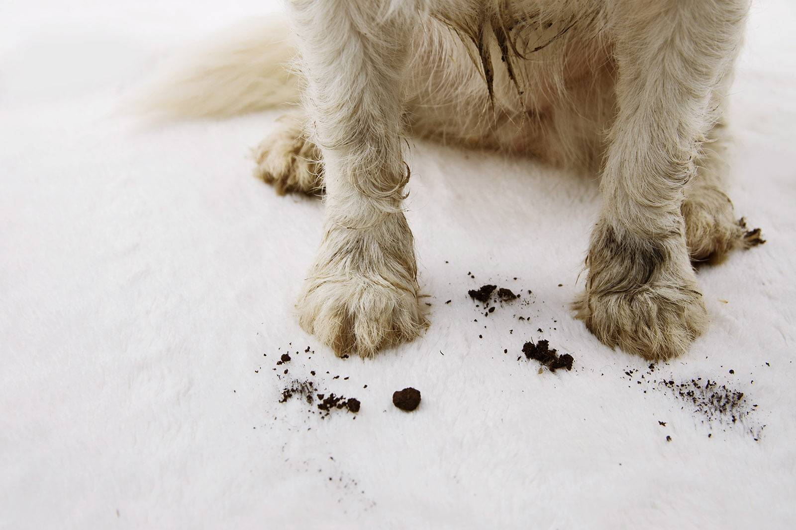 Close-up of dirty and muddy dog on carpet at home